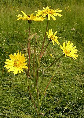 Козельці лучні tragopogon pratensis
